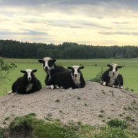 Klövsjö lamm livdjur
