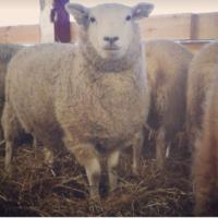 Hel fårbesättning säljes