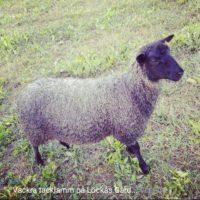Hel eller delar av fårbesättning säljes